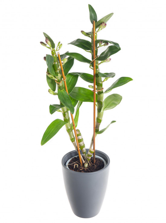 Orchidej Stromobytec, Dendrobium nobile, 2 výhony, bílo - tmavě růžová-7314