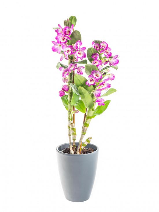 Orchidej Stromobytec, Dendrobium nobile, 2 výhony, bílo - tmavě růžová-8118