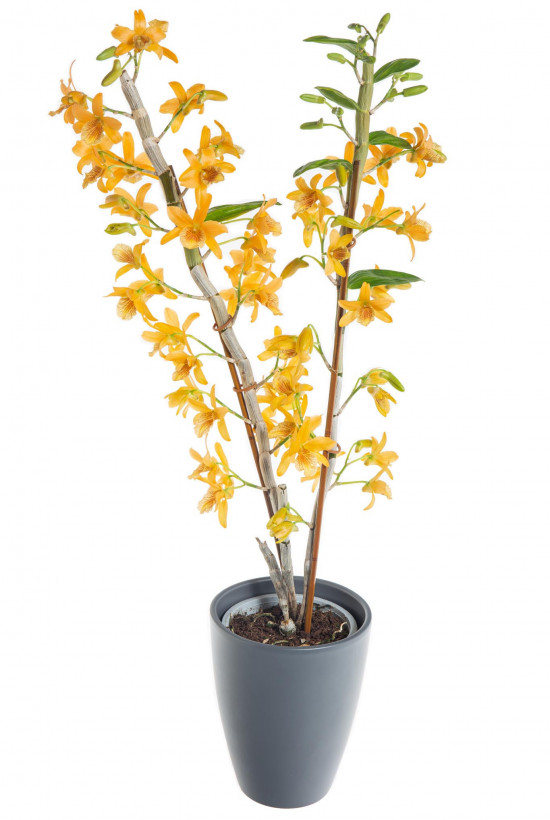 Orchidej Stromobytec, Dendrobium nobile, 2 výhony, oranžová-7292