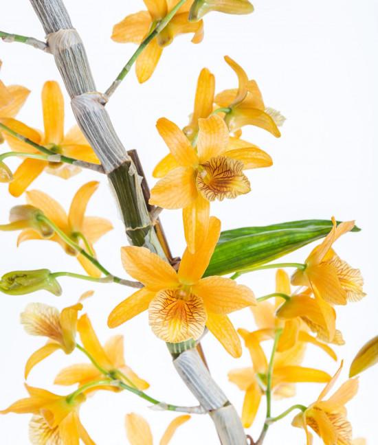 Orchidej Stromobytec, Dendrobium nobile, 2 výhony, oranžová-7293