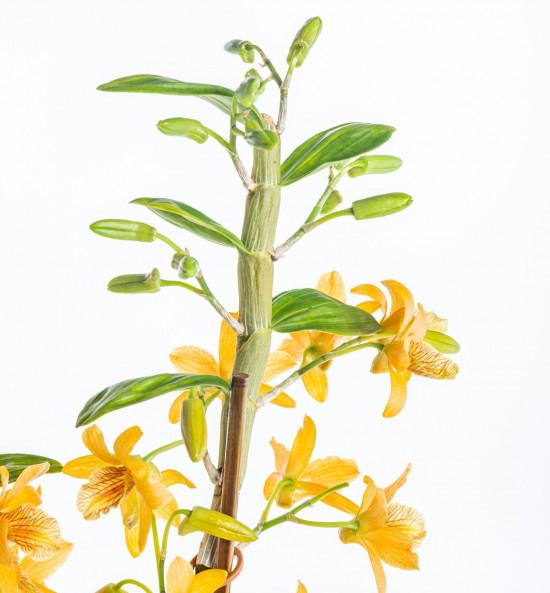 Orchidej Stromobytec, Dendrobium nobile, 2 výhony, oranžová-7294