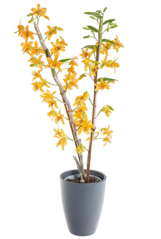 Orchidej Stromobytec, Dendrobium nobile, 2 výhony, oranžová