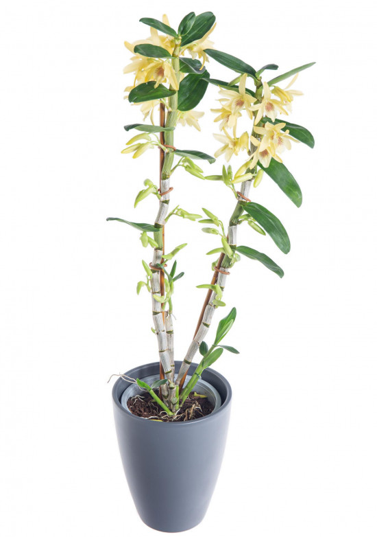 Orchidej Stromobytec, Dendrobium nobile, 2 výhony, žlutá-7317