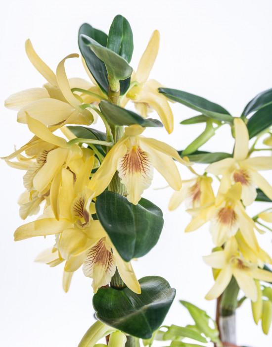 Orchidej Stromobytec, Dendrobium nobile, 2 výhony, žlutá-7318