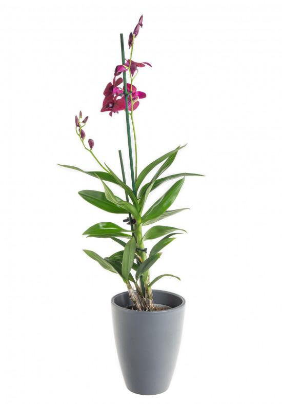 Orchidej Stromobytec, Dendrobium Sa - nook, fialová