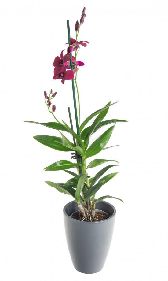 Orchidej Stromobytec, Dendrobium Sa - nook, fialová-7326