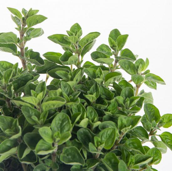 Oregano neboli Dobromysl, Origanum vulgare, v květináči-7871