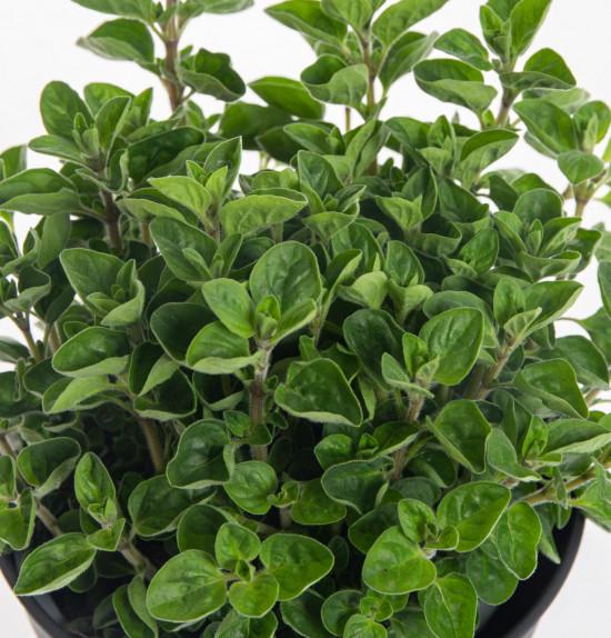 Oregano neboli Dobromysl, Origanum vulgare, v květináči-7872