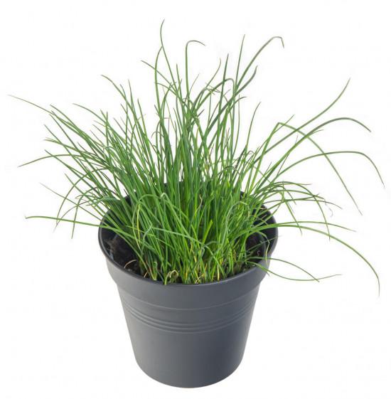 Pažitka pobřežní, Allium schoenoprasum, v květináči-7560