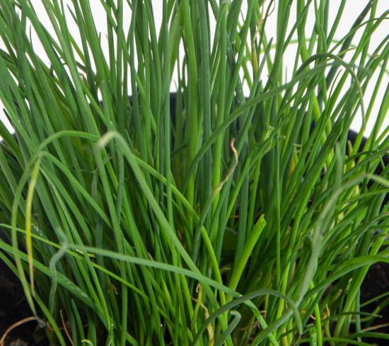 Pažitka pobřežní, Allium schoenoprasum, v květináči-7561