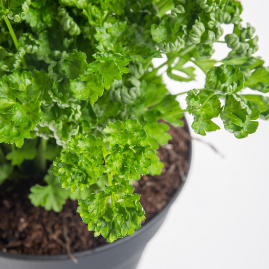 Petržel kudrnka, Petroselium crispum convar. vulgare, v květináči-8130
