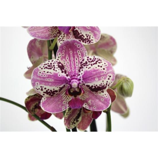 Phalaenopsis Frontera 2 výhon-2429