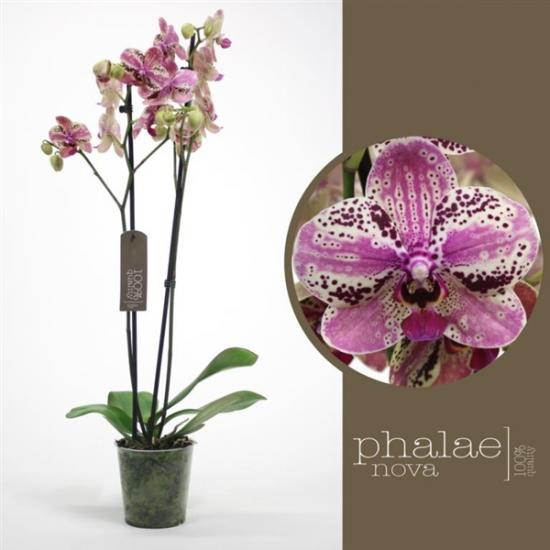 Phalaenopsis Frontera 2 výhon-2430