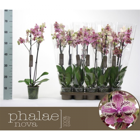 Phalaenopsis Frontera 2 výhon-2431