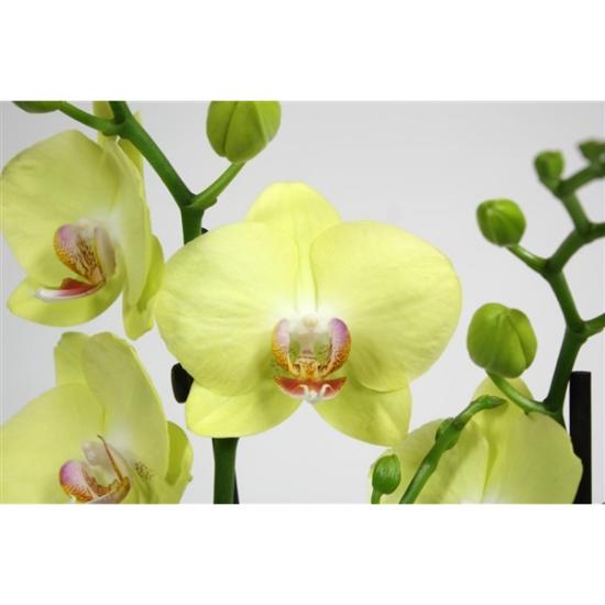 Phalaenopsis Green Crystal 2 výhon-3413