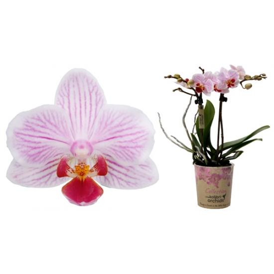 Phalaenopsis Kolibri Japan, 2 výhon-3424
