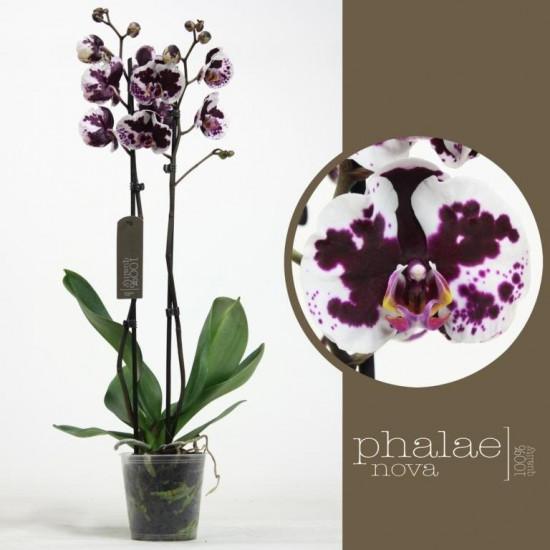 Phalaenopsis Mamon 2 výhon-3488