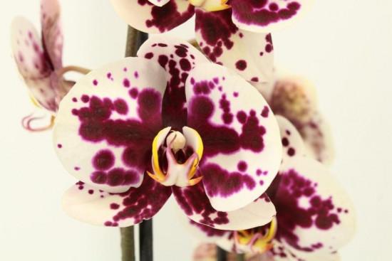 Phalaenopsis Melisa 2 výhon-3469