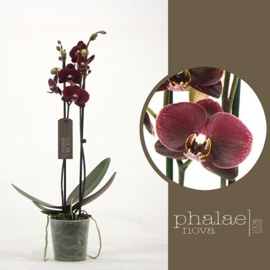 Phalaenopsis Melisa 2 výhon-3470