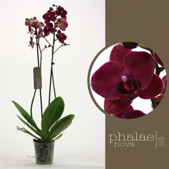 Phalaenopsis Montreux 2 výhon-3416