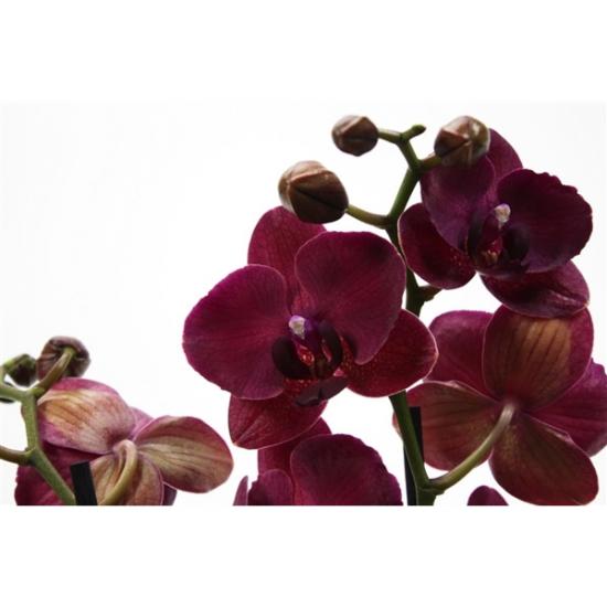 Phalaenopsis Montreux 2 výhon-3417