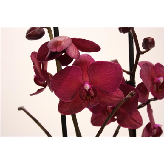Phalaenopsis Pavarotti 2 výhon-2436