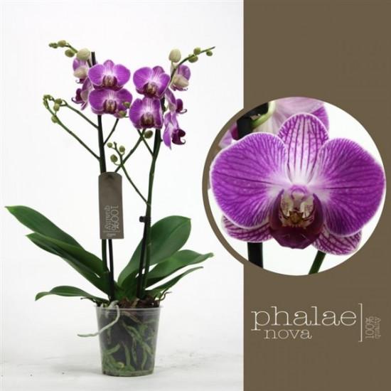 Phalaenopsis Ping Pong 2 výhon-3685