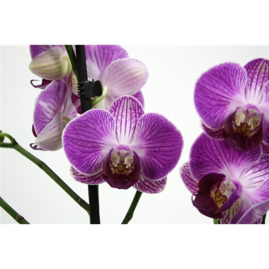 Phalaenopsis Ping Pong 2 výhon-3686