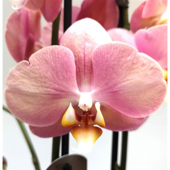 Phalaenopsis Sylvia 2 výhon-2440
