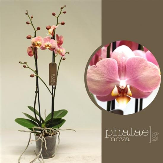 Phalaenopsis Sylvia 2 výhon-2441
