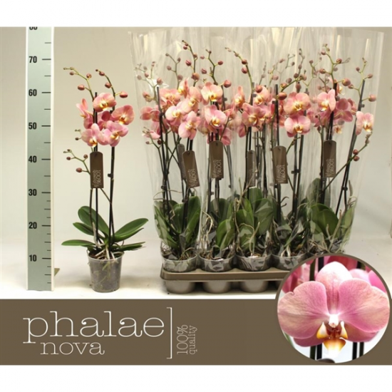 Phalaenopsis Sylvia 2 výhon-2442