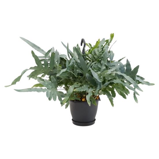 Phlebodium aureum - Tečkovka závěsná rostlina-3339