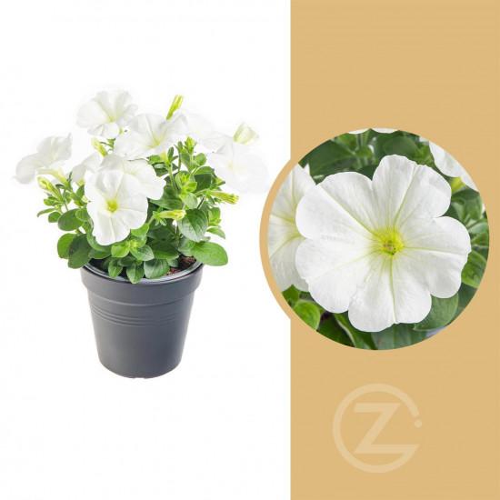 Potunie, bílá, průměr květináče 10 - 12 cm
