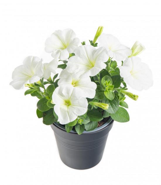 Potunie, bílá, průměr květináče 10 - 12 cm-8368