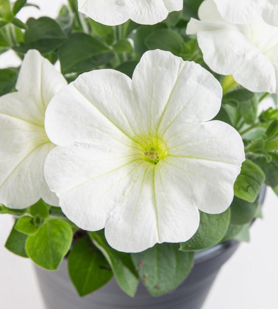 Potunie, bílá, průměr květináče 10 - 12 cm-8369