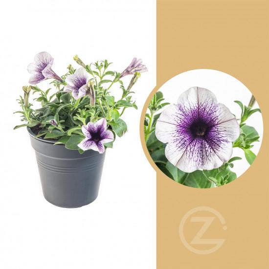 Potunie, bílá s fialovým žilkováním, průměr květináče 10 - 12 cm