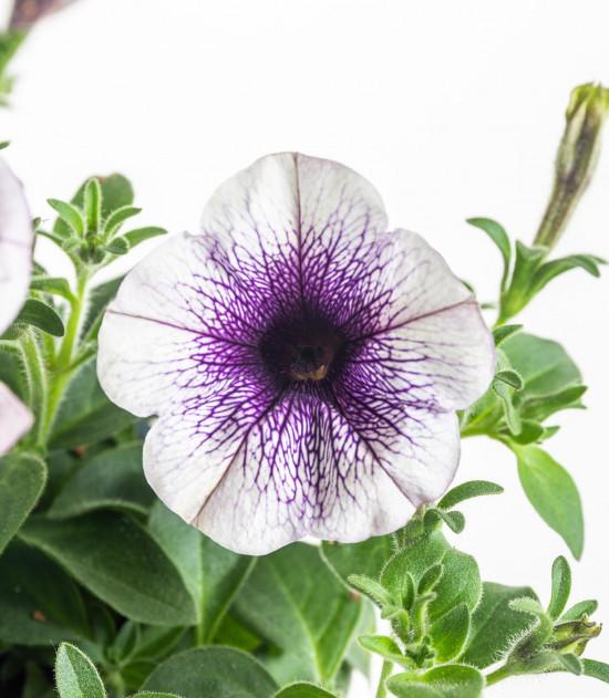 Potunie, bílá s fialovým žilkováním, průměr květináče 10 - 12 cm-8319