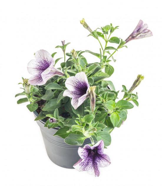 Potunie, bílá s fialovým žilkováním, průměr květináče 10 - 12 cm-8320