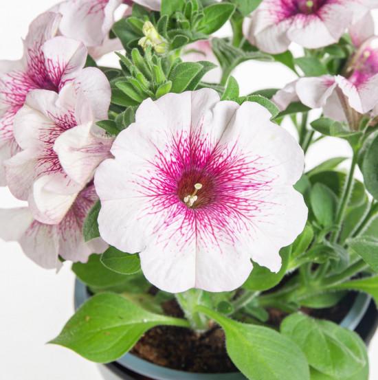 Potunie, bílá s růžovým žilkováním, průměr květináče 10 - 12 cm-8392