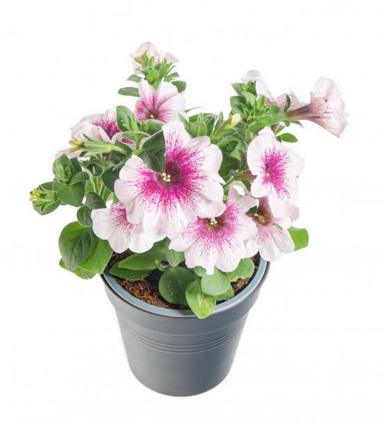 Potunie, bílá s růžovým žilkováním, průměr květináče 10 - 12 cm-8393