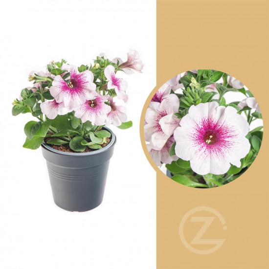 Potunie, bílá s růžovým žilkováním, velikost květináče 10 - 12 cm-8390