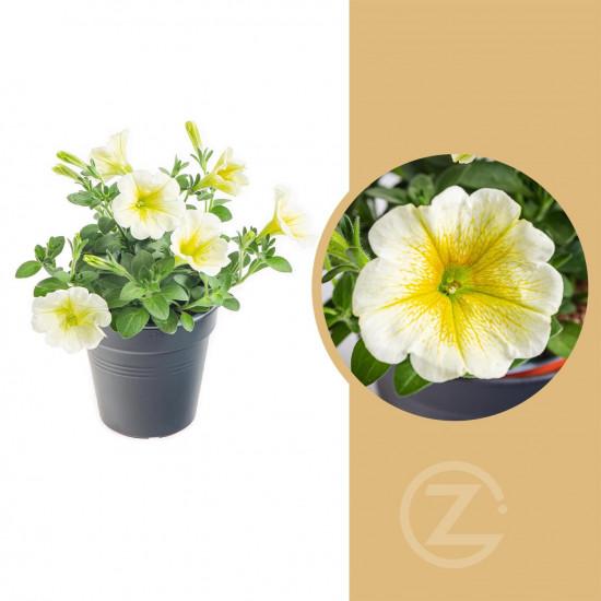 Potunie, bílá se žlutým žilkováním, průměr květináče 10 - 12 cm