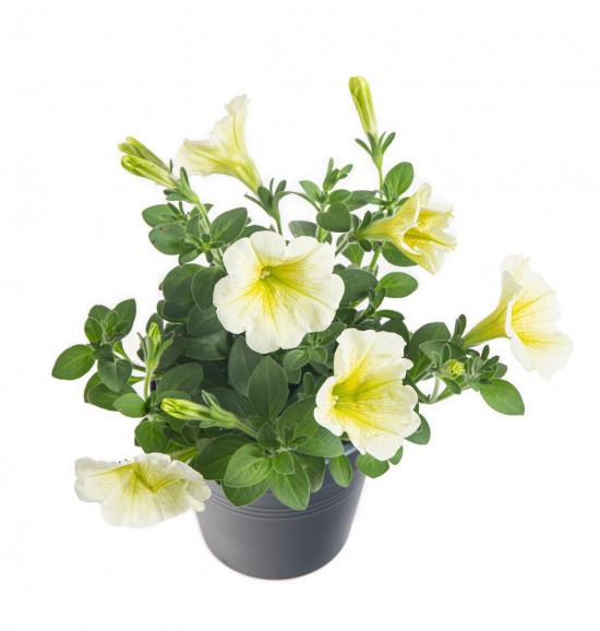 Potunie, bílá se žlutým žilkováním, průměr květináče 10 - 12 cm-8417