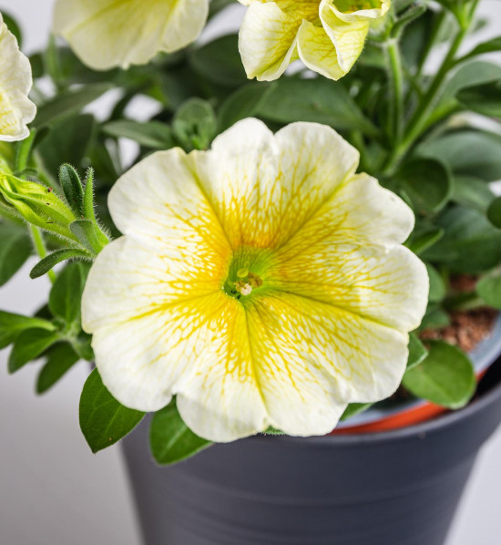 Potunie, bílá se žlutým žilkováním, velikost květináče 10 - 12 cm-8416