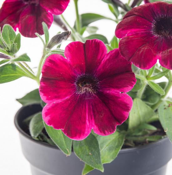 Potunie, fialovo - červená, průměr květináče 10 - 12 cm-8294