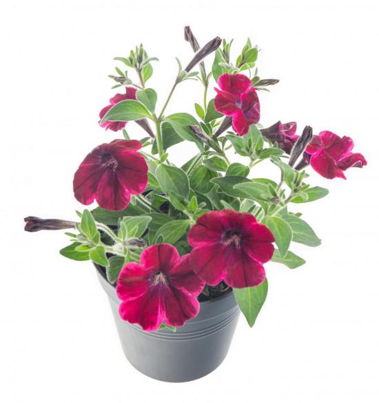 Potunie, fialovo - červená, průměr květináče 10 - 12 cm-8295