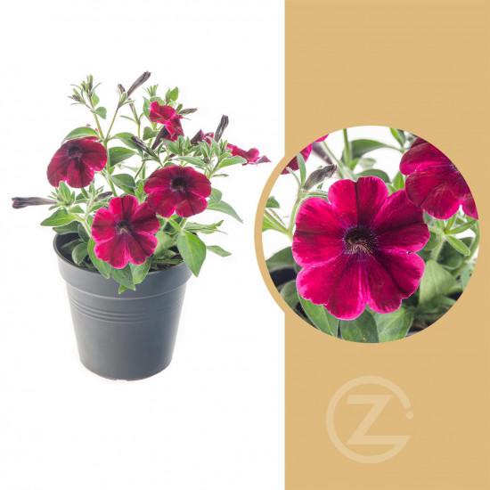 Potunie, fialovo - červená, velikost květináče 10 - 12 cm-8292