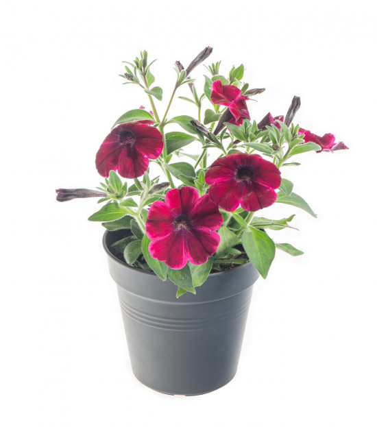 Potunie, fialovo - červená, velikost květináče 10 - 12 cm-8293
