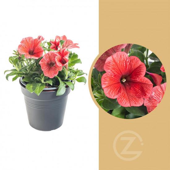 Potunie, světle červená, průměr květináče 10 - 12 cm