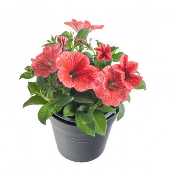 Potunie, světle červená, průměr květináče 10 - 12 cm-8344